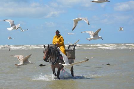 Pescar gambas a caballo: así es la ancestral tradición belga, patrimonio de la humanidad, pero al borde de la extinción