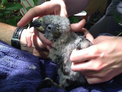 Los neozelandeses están matando a las aves en peligro de extinción por accidente