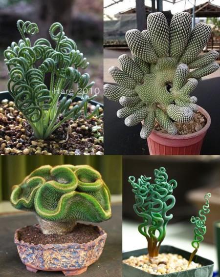 Cuatro Cactus Aliens