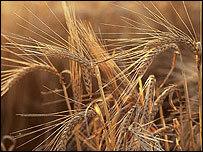 El biocombustible propicia un encarecimiento de los alimentos