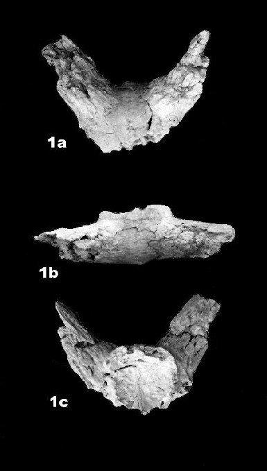 Importante hallazgo de un búfalo de 1,5 millones de años en Granada
