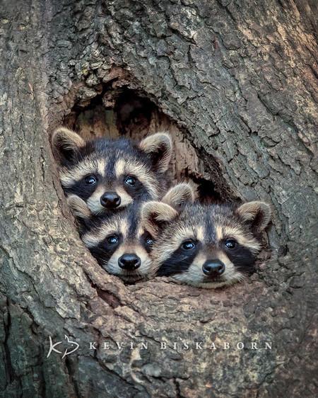 Kevin Biskaborn Raccoons