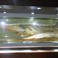 El pez de agua dulce con mayor masa alcanza los 300 kg, pero se extinguió en el año 2020