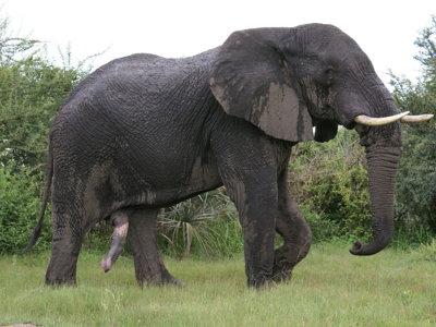 ¿Cuál es el animal con el pene más grande y en qué posición se encuentra el hombre?