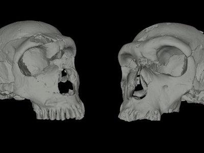 Se reconstruye en 3D la cavidad nasal interna de los neandertales