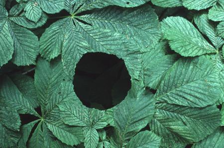 Agujero entre hojas de castaño de indias con tallos de hoja movidos por el viento