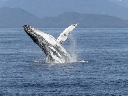 Humpback Whale 436115 1920