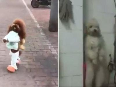 La cruel realidad tras los perros que caminan a dos patas disfrazados como humanos
