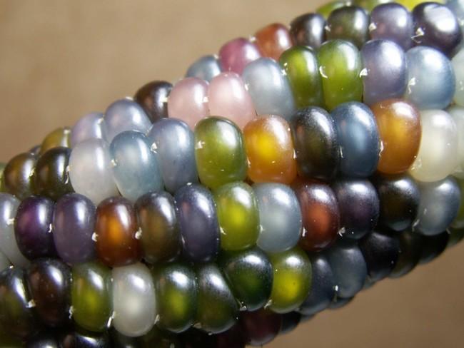 Maiz Multicolor