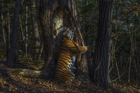 Una toma única de una tigresa siberiana abrazando un árbol gana el concurso de naturaleza Wildlife Photographer of the Year 2020