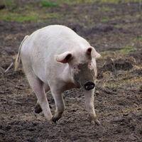 Una mujer logró procesar su orina durante 54 horas con un riñón de cerdo implantado: el futuro de los trasplantes está en los animales