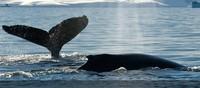 Japón ya no podrá cazar ballenas en la Antártida