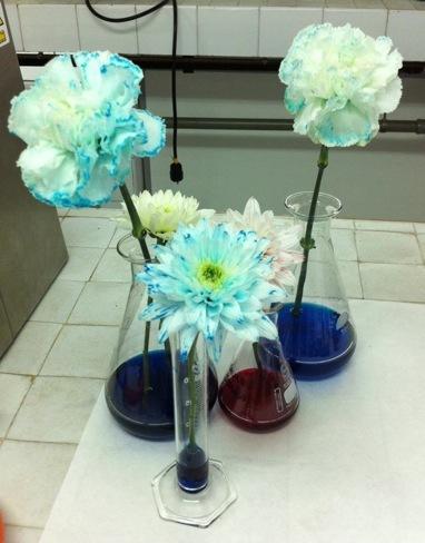 ¿Cómo se tiñen las flores blancas de color?