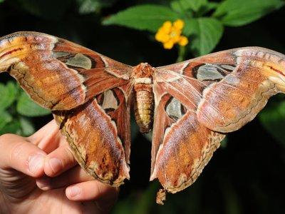 Las 9 mariposas y polillas más grandes, bonitas y asombrosas que te puedes encontrar por el mundo