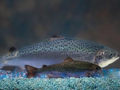 En Canadá ya puede adquirirse salmón transgénico