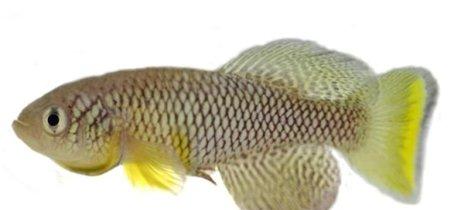 Este pez, cual vampiro, rejuvenece cuando absorbe la caca de uno joven