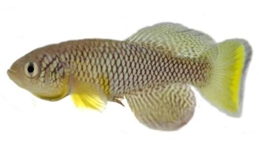 Nothobranchius Furzeri Grz