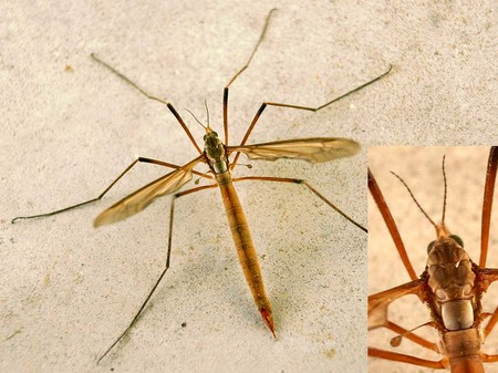 típula-bicho-mosquito