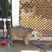 Castrado, sin colmillos y sin garras, así fue como la Profepa encontró a un jaguar en un domicilio de Cuernavaca