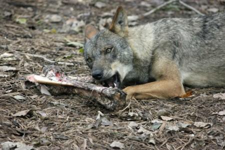 Iberian Wolf 72205 1280