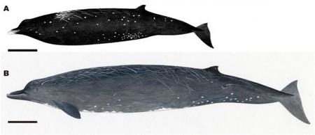 Se encuentra una nueva especie de cetáceo en las costas de Japón: la Ballena Negra