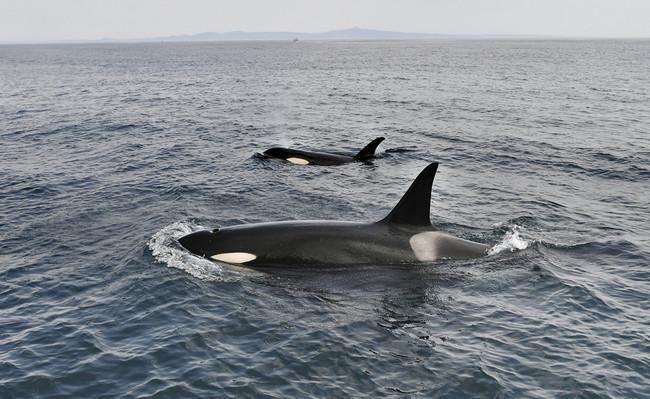 PCB: la plaga que extendimos entre las orcas hace un siglo las está exterminando hoy