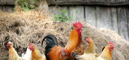 Unos investigadores afirman traducir mediante inteligencia artificial parte del 'lenguaje' de los pollos