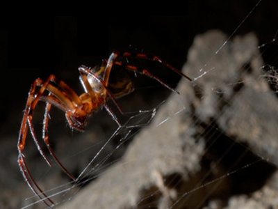 Se obtiene fibra más fuerte gracias a seda de araña con grafeno
