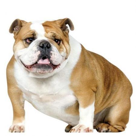 bulldog_koziel.jpg