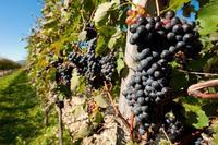 El vino: bebida nacional de Argentina