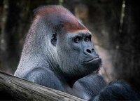 En busca de gorilas en África