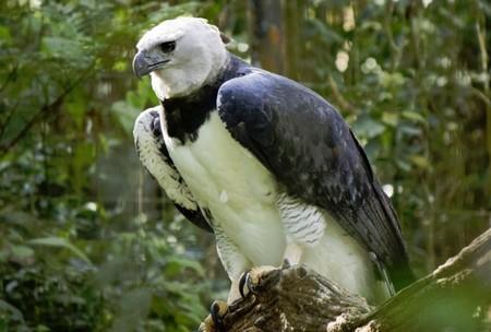 Habitat Del Aguila Arpia