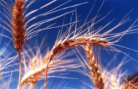 Los cereales en la alimentación infantil: el trigo y el trigo sarraceno