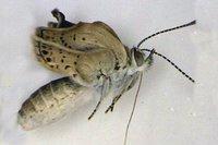 Las mariposas mutantes de Fukushima