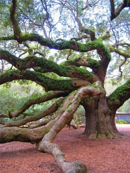 angel-oak4.jpg