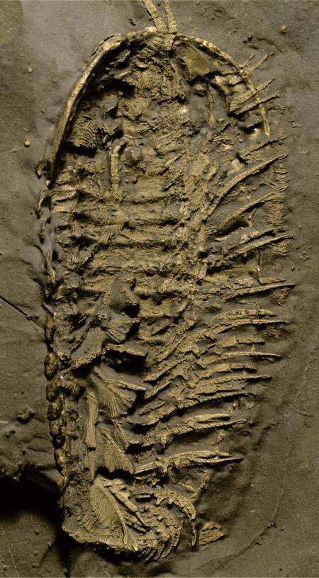 Full Trilobite