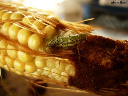 """El maíz """"matagusanos"""" basado en ARN de Monsanto ya tiene autorización: la polémica está servida"""