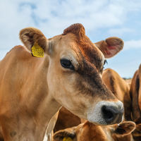 Una empresa de ganadería británica ha tenido la idea del siglo: Tudder, el Tinder de las vacas