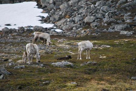 La suave lluvia que mató a más de 200 renos en un archipiélago al norte de Noruega