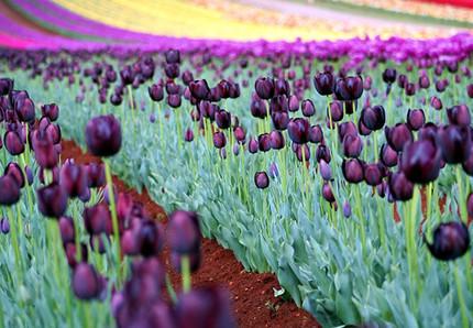 La foto de la semana: Tulipanes