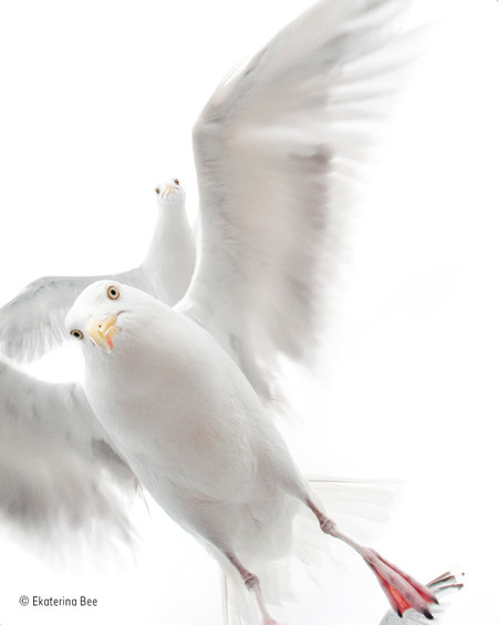 In The Grip Of The Gulls Ekaterina Bee Wildlife Photographer Of The