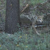 En un hecho histórico, siete lobos mexicanos fueron liberados en su hábitat natural