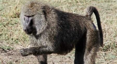 Los babuinos usan vocales similares a las nuestras
