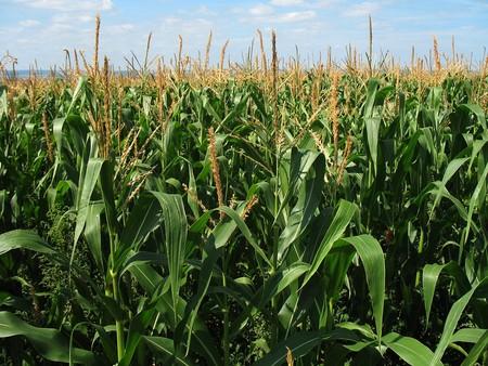 El cultivo de maíz contamina el aire hasta tal punto que es responsable de la muerte de miles de personas al año