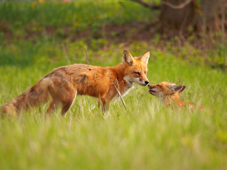 Kevin Biskaborn Red Foxes