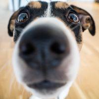 Una startup china de inteligencia artificial ayuda a encontrar perros perdidos escaneando la huella de su nariz