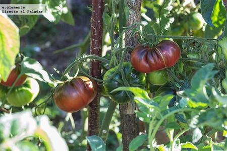 Tomate negro de santiago