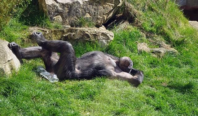 Chimpanzee 751238 640
