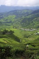 Plantaciones de té entre las nubes