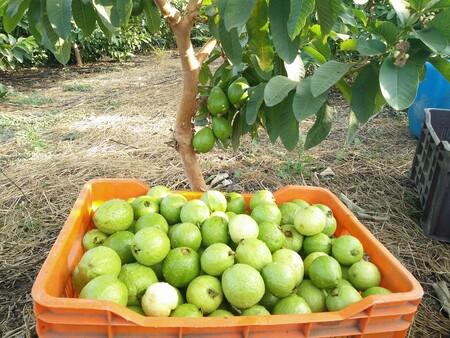 Beneficios De La Guayaba Aporta Mas Vitamina C Que Naranjas O Limones